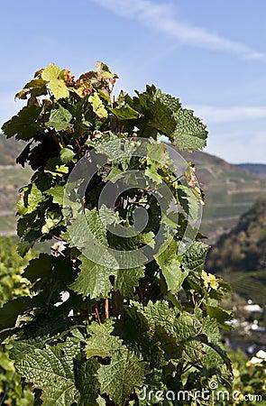 Grape Vine in the autumn Sun