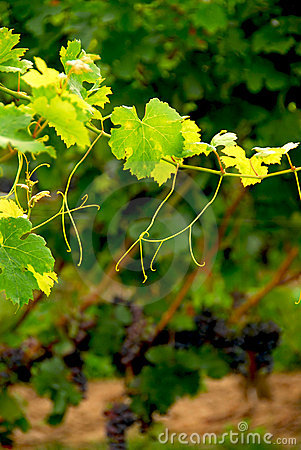 Grape vine branch