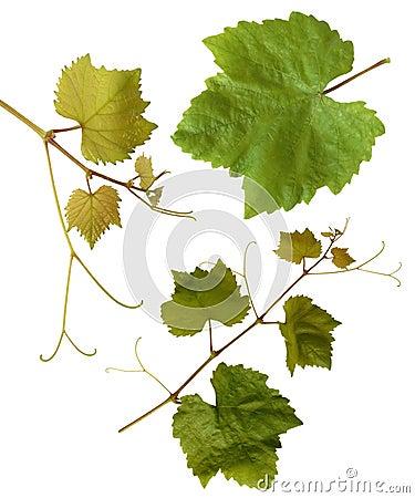 Grape-vine leaves - isolated