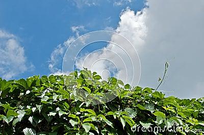 Grape vine and sky