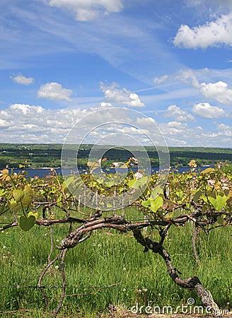 Grape Vine, Vineyard