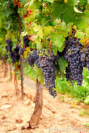 Free Grape Vines Stock Photos - 1238423