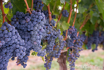 Lush Farm Grapevine Harvest Ready Vineyard Grapes
