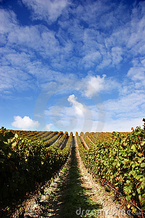 Free Grape Vines And Blue Sky Royalty Free Stock Photo - 2750915