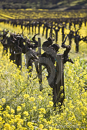Free Grape Vines And Mustard Flowers, Napa Valley Stock Photo - 5027070