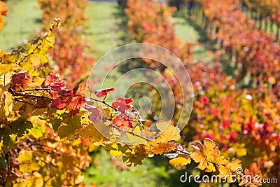 Grape vines in autumn scene