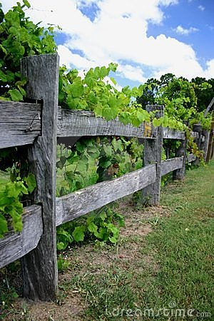 Grape Vines On Fence Stock Images Image 130554