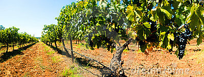 Grape Vines Panorama