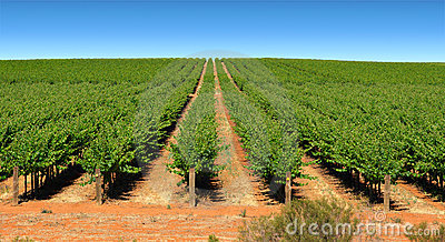 Grape vines in rows on farm