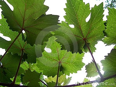 Grape vines and sunshine