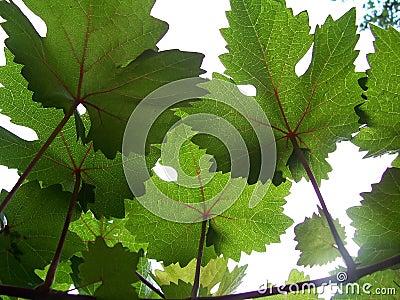Grape vines and sunshine