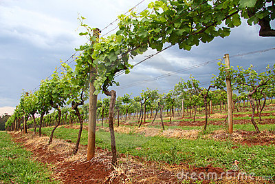 Grape Vines in a Vineyard