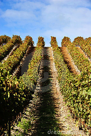 Grape vines at vineyard
