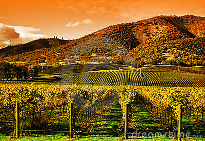 Grape Vines in Vineyard at Sunset