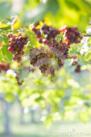 Free Grape,vineyard Stock Photo - 93411350