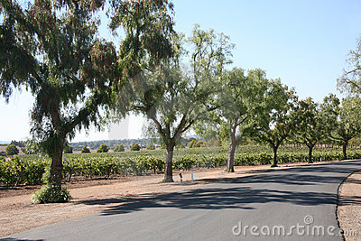 Grape vineyard driveway