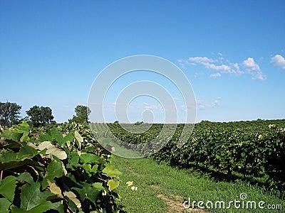 Grape Vineyard View