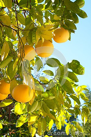 Free Grapefruit Growing Organic In Southern California Back Yard In Winter Time With Sunny Day,  Blue Sky Background With Room Or Space Stock Photos - 101140073
