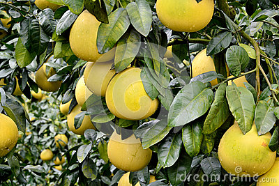 Grapefruit on trees
