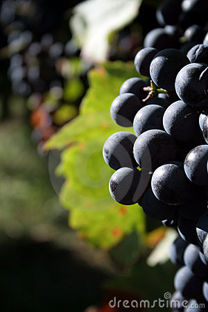 Free Grapes Royalty Free Stock Photos - 1415088