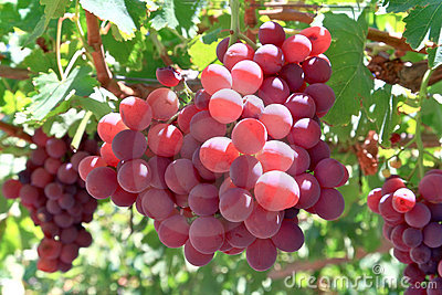 Grapes Royalty Free Stock Photos - Image: 14986778