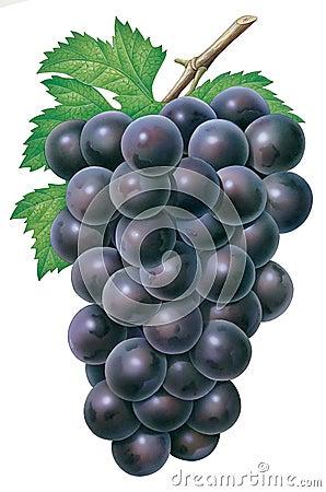 Grapes Cartoon Illustration