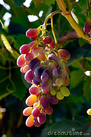 Free Grapes Stock Photography - 2815782