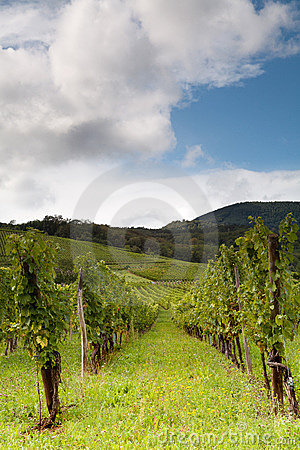 Grapes in Alsace