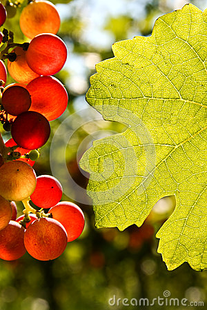 Free Grapes And Vine Leaf With Place For Text Royalty Free Stock Photos - 39161018