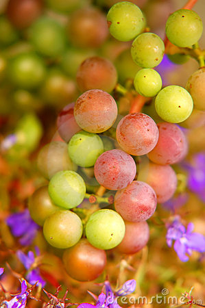 Free Grapes Background Royalty Free Stock Images - 3527919