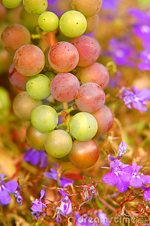 Free Grapes Background Royalty Free Stock Photo - 3527925