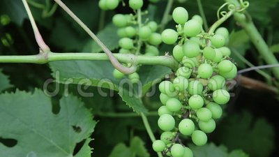 Grapes on a branch. Bunch of green unripe grapes on a branch in a garden stock video footage