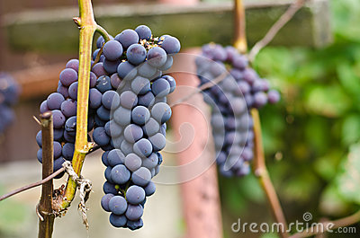 Grapes clusters isabella