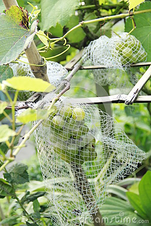 Grapes covered by net