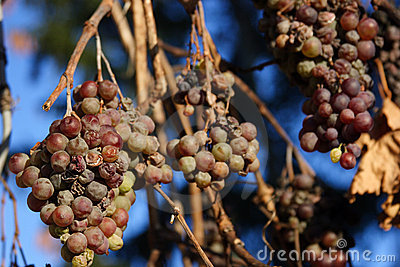 Grapes - Franconian ice wine