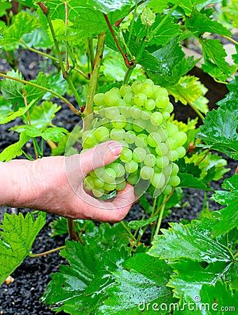 Grapes In a Garden