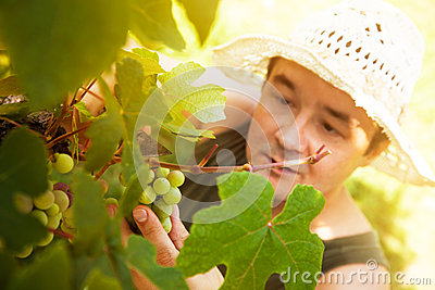 Grapes Harvest Royalty Free Stock Photos - Image: 26210448