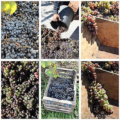 Grapes harvest collage