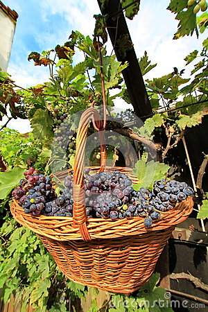 Free Grapes In A Basket Stock Photos - 43778263