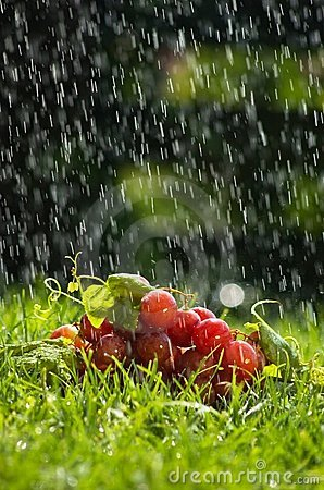 Free Grapes In The Rain Stock Images - 7428214