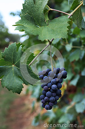Free Grapes Italian Fields Wine Royalty Free Stock Images - 70289119