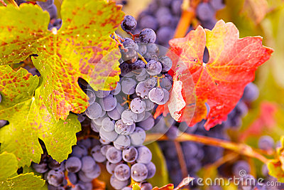 Grapes and leafs