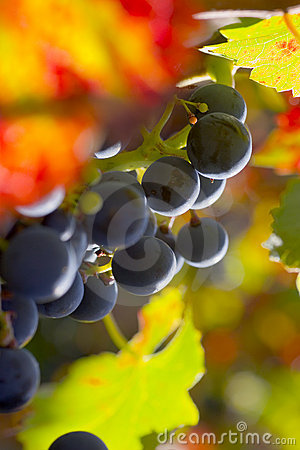 Free Grapes Of Red Wine Stock Image - 5966861