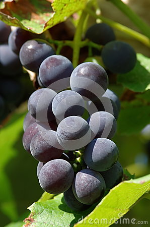 Free Grapes Of Red Wine Stock Photography - 78751082