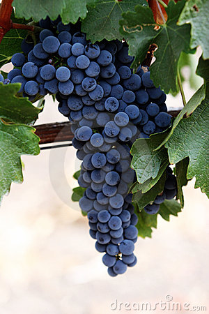 Free Grapes On A Vine Royalty Free Stock Photos - 1311588