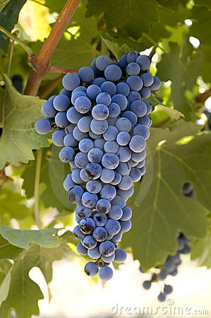 Free Grapes On The Vine Stock Images - 3688804