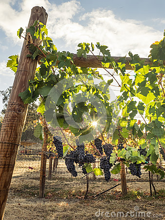 Free Grapes On The Vine Royalty Free Stock Images - 95527929