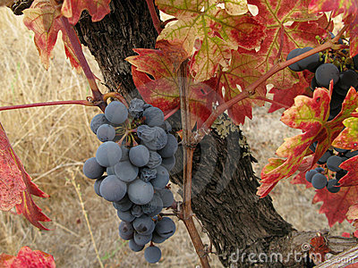 Grapes remaining after the harvest