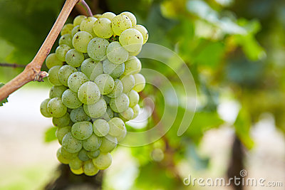Grapes for Riesling white wine