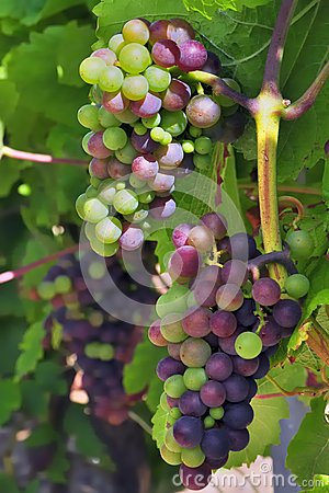 Free Grapes Ripening Royalty Free Stock Images - 28565209